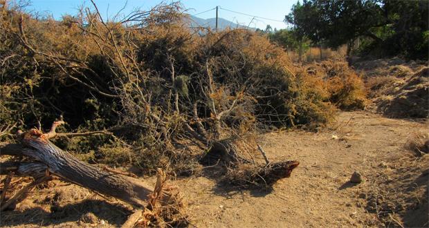 Fiscalizadores detectaron restos de follaje, fustes y tocones de árboles autóctonos, de la especie Espino, arrancados con maquinaria pesada.
