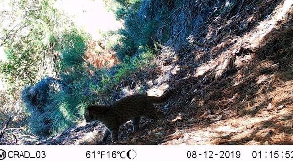 En esta primera recolección de fotografías de cámaras trampas también permitió se certificó la presencia del gato güiña (Leopardus guigna), que está en categoría vulnerable y es el más pequeño de su especie.